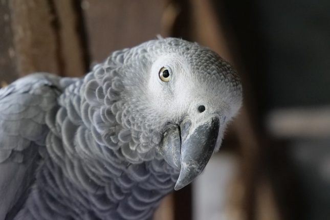 Photo of an African grey parrot