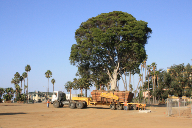 A tree being moved into a park