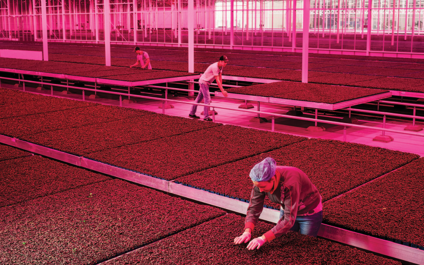 People working with soil in large greenhouse with pink lighting